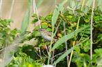 Sedge Warbler (Acrocephalus schoenobaenus)
